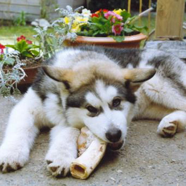 Dog's Life Pictures of Alaskan Malamutes