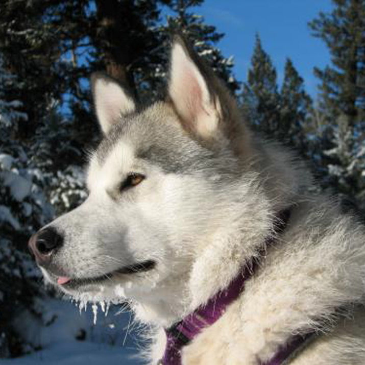Main Pictures of Alaskan Malamutes